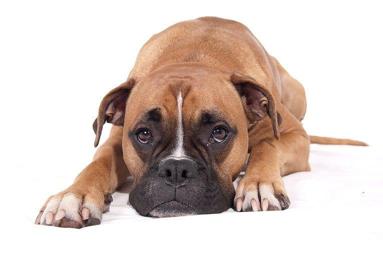 PEA pets pet dog vet chronic pain